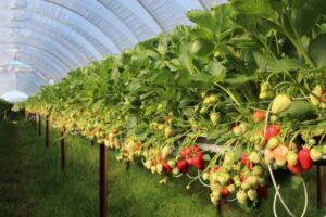 Збір полуниці у теплицях